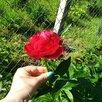 Пион Генри Бокстос по цене 1300₽ - Рассада, саженцы, кустарники, деревья, фото 5