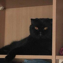Кошки - Британский котик в дар!, 0