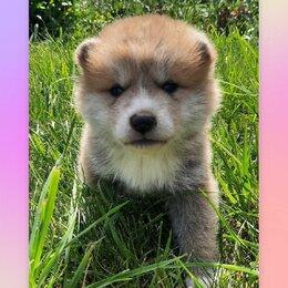 Собаки - Продам щенков Акита Ину , 0