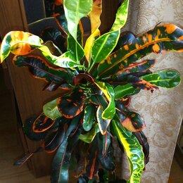 Комнатные растения - Черенок кротона Мамми, 0