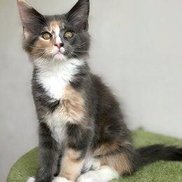 Кошки - Яркие кошечки мейн кун, 0