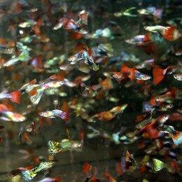 Аквариумные рыбки - Гуппи Ассорти, 0