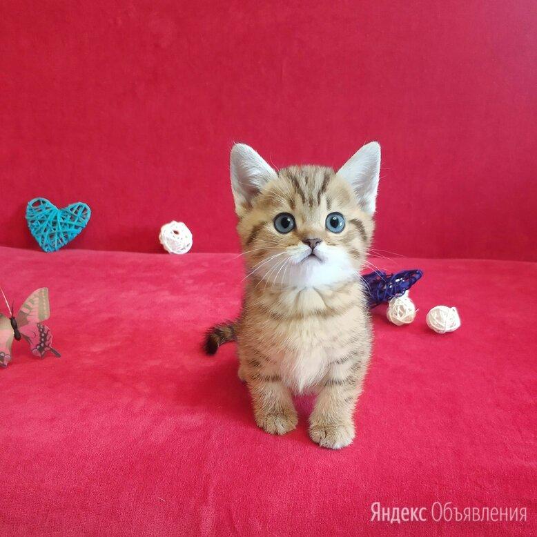Шикарный котик с хвостиком как у енота по цене 8000₽ - Кошки, фото 0