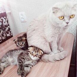 Кошки - Котята шотландские вислоухие, 0