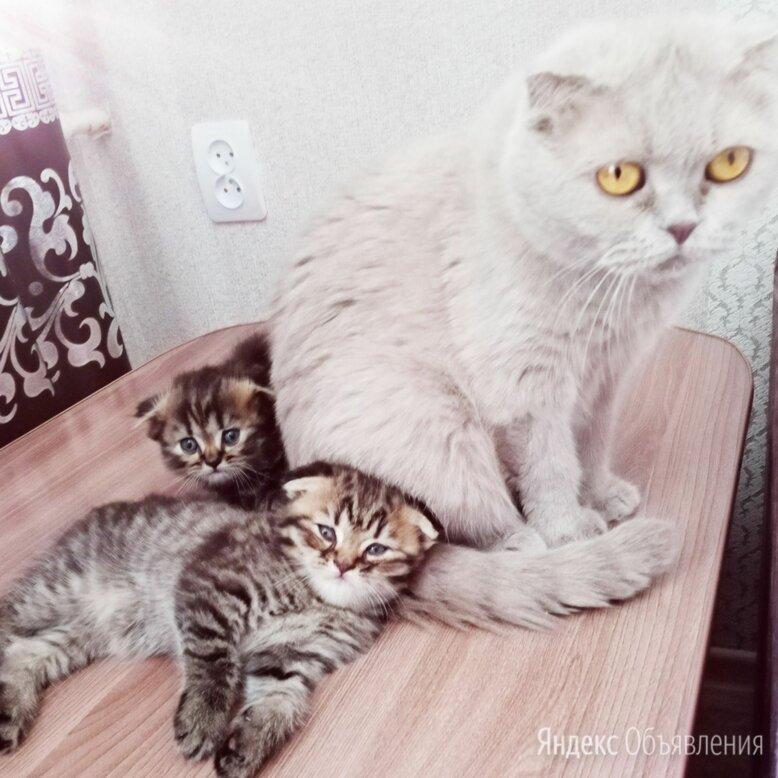 Котята шотландские вислоухие по цене 3500₽ - Кошки, фото 0