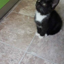 Кошки - Черный кот с белыми лапками , 0