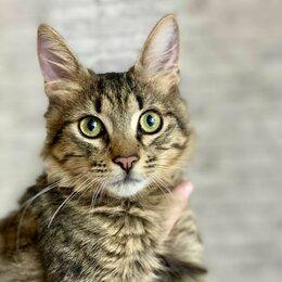 Кошки - Европейская короткошёрстная кошка серебристый, 0