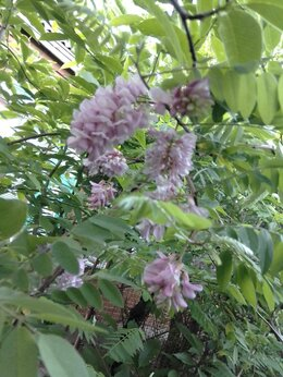 Рассада, саженцы, кустарники, деревья - Робиния  клейкая(Розовая Акация), 0
