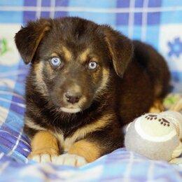 Собаки - Голубоглазый щенок в добрые руки, 0