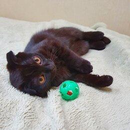 Кошки - Котик шотландский вислоухий, 0