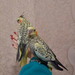 Птицы - Попугай корелла жемчужный (выкормыши)., 0