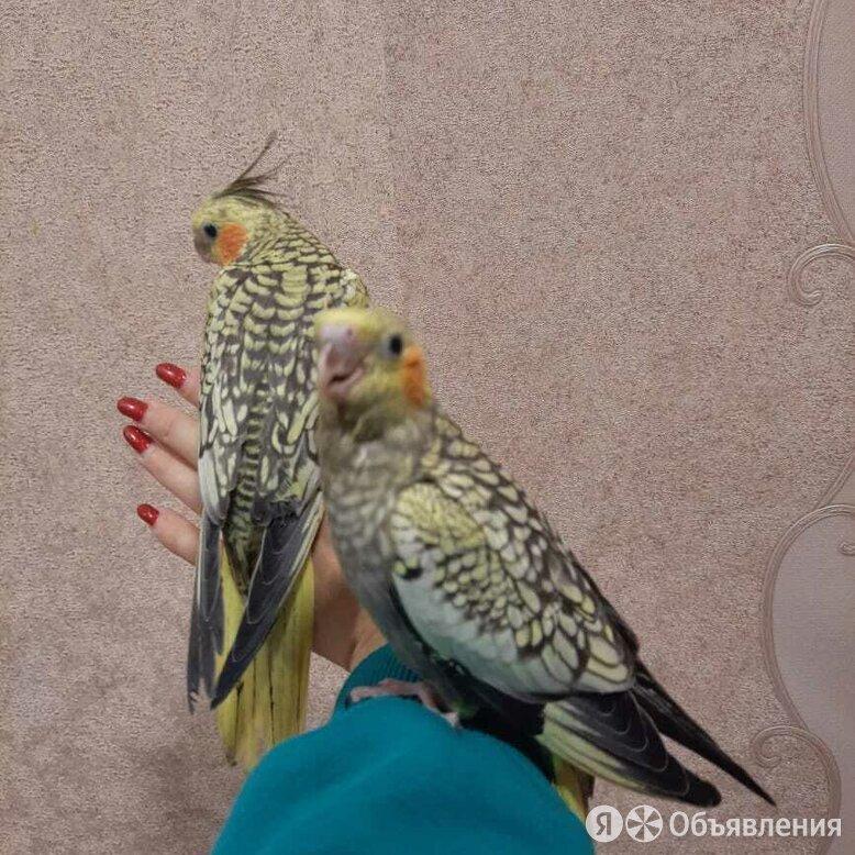 Попугай корелла жемчужный (выкормыши). по цене 5500₽ - Птицы, фото 0