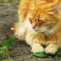 Кошки - Рыжий красавец, 0