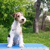Фокстерьера щенок по цене 40000₽ - Собаки, фото 2