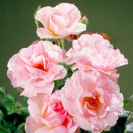 """Цветы, букеты, композиции - АФ """"Поиск"""" Роза миниатюрная Пинк Морсдаг (Pink Morsdag ), 0"""