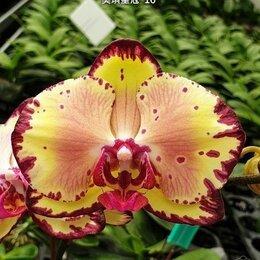 Комнатные растения - Орхидея Phal. Miki Crown '16', 0