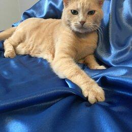 Кошки -  Очень ласковый персиковый парень Персик 7 лет ищет дом , 0