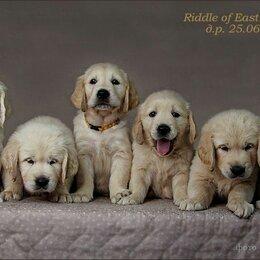 Собаки - Золотистый ретривер щенок 1,5 месяц, 0