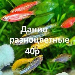 Аквариумные рыбки - Данио домашние., 0