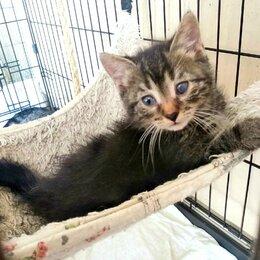 Кошки - Скромный и милый муаровый котенок в добрые руки, 0