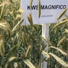 Семена - Продам семена озимая рожь - сорт КВС МАГНИФИКО, 0