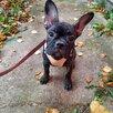 Девочка Французского бульдога  по цене 20000₽ - Собаки, фото 1