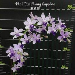 Комнатные растения - Орхидея Фаленопсис Phal. Tzu Chiang Sapphire, 0