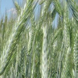 Семена - Продам семена озимой тритикале - сорт ДОКТРИНА 110, 0