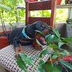 Доберман щенок по цене 18000₽ - Собаки, фото 9