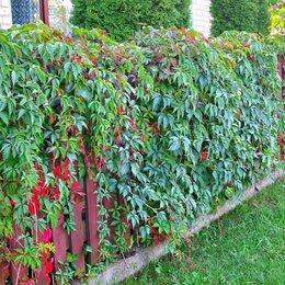 Рассада, саженцы, кустарники, деревья - продам рассаду- девичий виноград , 0
