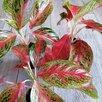 Аглаонема Престиж по цене 1300₽ - Комнатные растения, фото 3