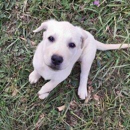 Собаки - Чистокровные Щенки Породы Лабрадор,Мальчик и Девочка,Умные и Добрые, 0