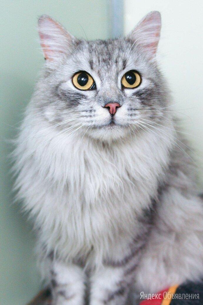 Шикарный котик Салют! Добрый и ласковый, как оказался на улице - не понятно 😦 по цене даром - Кошки, фото 0