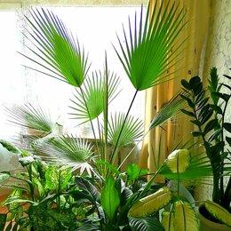 Комнатные растения - Роскошная вашингтония, 0