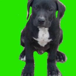 Собаки - Питбули, 0