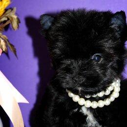 Собаки - Черный йорк, 0