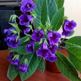 Комнатные растения - Продам. Глоксиния Тидея, 0