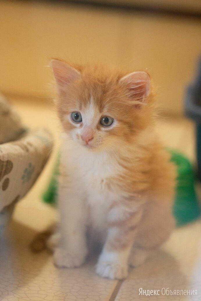 Солнечный котёнок Цукат ждёт семью в Лесном приюте по цене даром - Кошки, фото 0