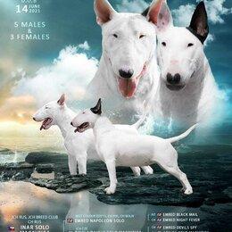 Собаки - Собака бультерьер, 0