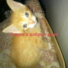 Кошки - Рыжие котики,отдам в добрые руки, 0