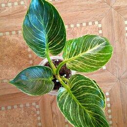 Комнатные растения - Филодендрон Биркин, 0