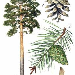 Рассада, саженцы, кустарники, деревья - Сосна обыкновенная, 0