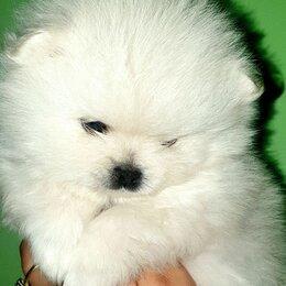 Собаки - Щенок Померанского Шпица мини, 0