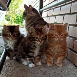 Кошки - Продаем чистокровных котят  Курильского бобтейла , 0