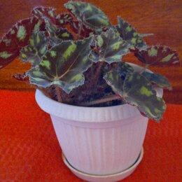 Комнатные растения - Бегония тигровая комнатная, 0
