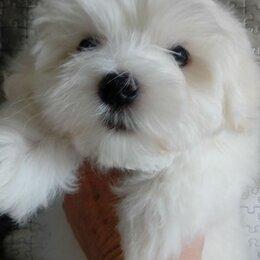 Собаки - Мальтезе- мальтийская болонка , 0