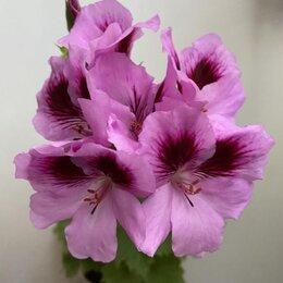 Комнатные растения - Королевская герань PAC Aristo Lavender, 0