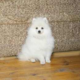 Собаки - Красивая девочка шпица, 0