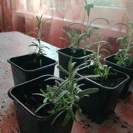 Комнатные растения - Розмарин рассада росток, 0