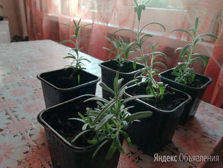 Розмарин рассада росток по цене 70₽ - Комнатные растения, фото 0